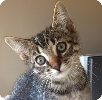 Domestic Shorthair Kitten for adoption in Rochester Hills, Michigan - Mojave