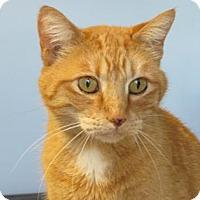 Domestic Shorthair Cat for adoption in Northfield, Minnesota - Julian