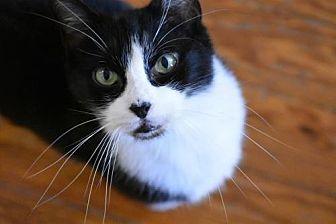 Domestic Shorthair Cat for adoption in Devon, Pennsylvania - Baby