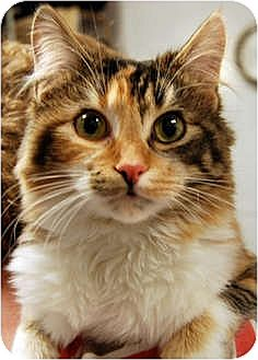 Domestic Longhair Cat for adoption in Huntley, Illinois - Adele