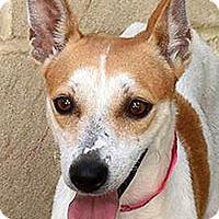 Adopt A Pet :: Birthday-Bear - San Antonio, TX