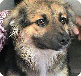 Sheltie, Shetland Sheepdog Mix Dog for adoption in Maynardville, Tennessee - Ilisa
