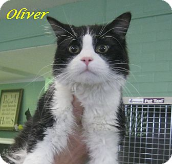 Domestic Mediumhair Cat for adoption in Chisholm, Minnesota - Oliver