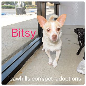 Chihuahua Mix Dog for adoption in Agoura Hills, California - Bitsy