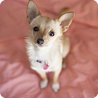Adopt A Pet :: Foxy-ADOPT Me! - Redondo Beach, CA