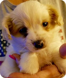 Chihuahua Mix Puppy for adoption in Colton, California - ! Bunny