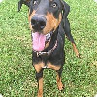 Adopt A Pet :: Patriot - Xenia, OH