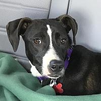 Adopt A Pet :: Juno - Potomac, MD