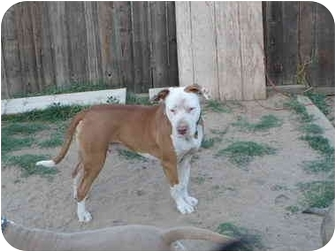 Pit Bull Terrier Mix Dog for adoption in Bakersfield, California - Charlie