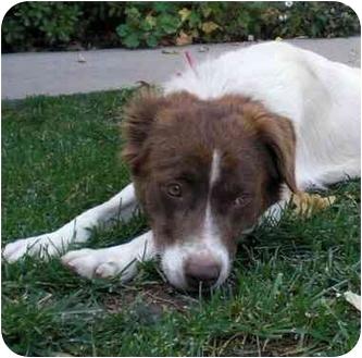Border Collie Mix Dog for adoption in Burbank, California - Sophia