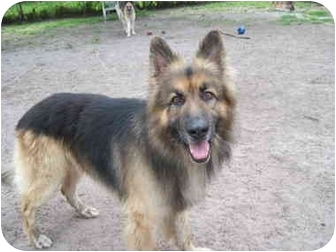 German Shepherd Dog Dog for adoption in Green Cove Springs, Florida - Mufasa