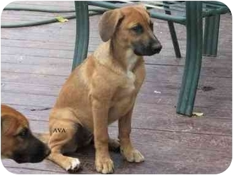 Labrador Retriever/Shepherd (Unknown Type) Mix Puppy for adoption in Chadds Ford, Pennsylvania - Ava