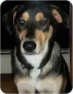 Labrador Retriever/St. Bernard Mix Dog for adoption in Salem, New Hampshire - Chewy