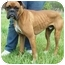 Photo 1 - Boxer Dog for adoption in North Judson, Indiana - Bam Bam