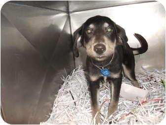 Shepherd (Unknown Type)/Labrador Retriever Mix Puppy for adoption in Edwardsville, Illinois - Lance
