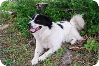 Border Collie Dog for adoption in Sneads Ferry, North Carolina - Unnamed