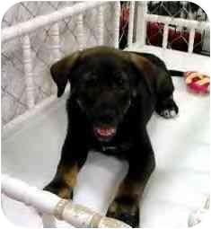 Rottweiler/Labrador Retriever Mix Puppy for adoption in Wilmington, Delaware - natalie
