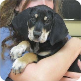 Black and Tan Coonhound Mix Puppy for adoption in Dallas, Texas - Ace
