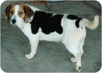 Beagle Mix Dog for adoption in Ripley, Tennessee - BY-3 Beagles