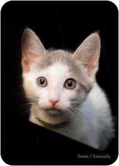 Domestic Shorthair Kitten for adoption in Houston, Texas - Porsche