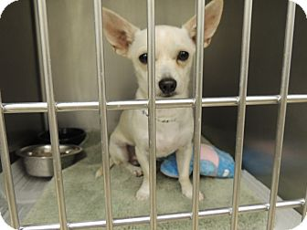 Chihuahua Dog for adoption in Houston, Texas - Chase