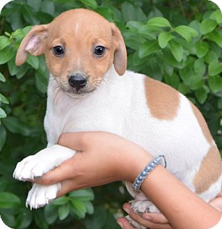 Chihuahua Mix Puppy for adoption in Ocala, Florida - Harley