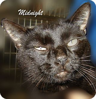Domestic Shorthair Cat for adoption in Beaumont, Texas - Midnight