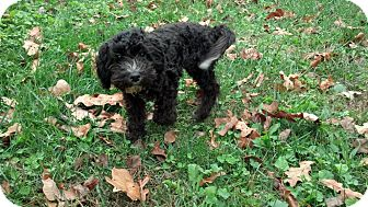 Portuguese Water Dog/Labradoodle Mix Puppy for adoption in Portland, Maine - Raven