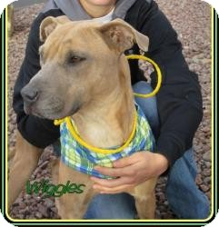 American Pit Bull Terrier Mix Dog for adoption in Las Vegas, Nevada - Wiggles