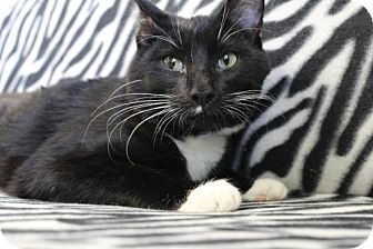 Domestic Shorthair Cat for adoption in Flower Mound, Texas - Bachelor