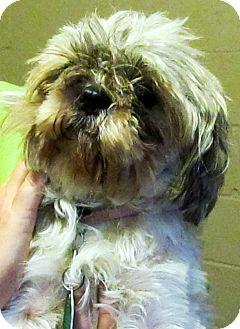 Shih Tzu Dog for adoption in Oswego, Illinois - I'M ADOPTED Jill Harden