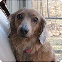 Adopt A Pet :: Shea - Killingworth, CT