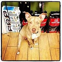 Adopt A Pet :: Huey - Los Angeles, CA