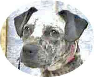 Dalmatian/Australian Cattle Dog Mix Puppy for adoption in Mandeville Canyon, California - Shadow