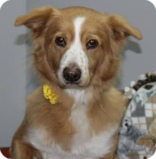Border Collie Mix Dog for adoption in Lasalle, Illinois - Bailey