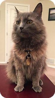 Domestic Mediumhair Cat for adoption in Anchorage, Alaska - KitKat