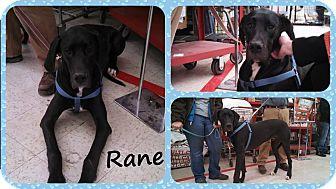 Great Dane Puppy for adoption in DOVER, Ohio - Rane- Adoption Pending