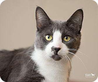 Domestic Shorthair Cat for adoption in Wilmington, Delaware - Hunter