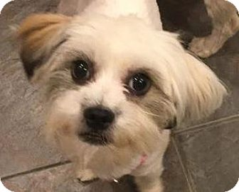 Lhasa Apso/Shih Tzu Mix Dog for adoption in Atlanta, Georgia - Tori