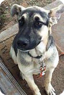 German Shepherd Dog Mix Puppy for adoption in Odessa, Texas - Bandit