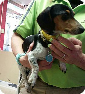 Dachshund Dog for adoption in Lubbock, Texas - Oscar