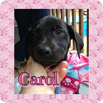 Labrador Retriever Mix Puppy for adoption in Sagaponack, New York - Carol