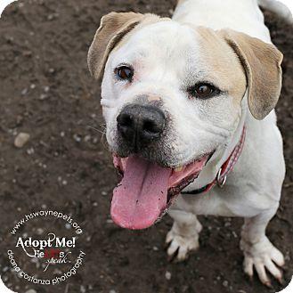 American Bulldog Mix Dog for adoption in Lyons, New York - Fumble