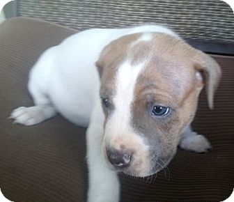 Boston Terrier/Pit Bull Terrier Mix Puppy for adoption in Cincinnati, Ohio - Blue