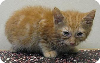 Domestic Shorthair Kitten for adoption in Gary, Indiana - Howard