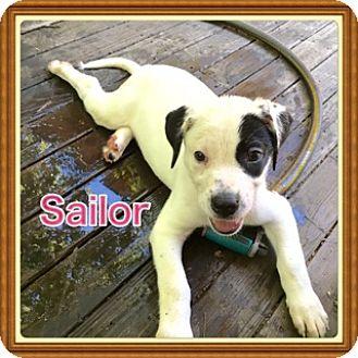 Labrador Retriever/Pit Bull Terrier Mix Puppy for adoption in Glastonbury, Connecticut - Sailor