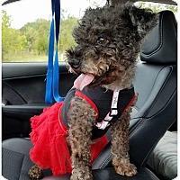 Adopt A Pet :: Sassy - Fredericksburg, VA
