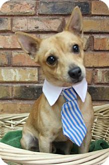 Chihuahua Mix Dog for adoption in Benbrook, Texas - Andy