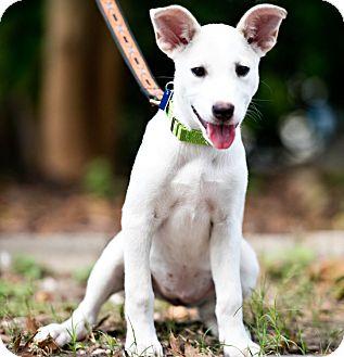 Shepherd (Unknown Type)/Terrier (Unknown Type, Medium) Mix Dog for adoption in Houston, Texas - Calypso