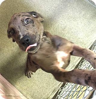 Catahoula Leopard Dog Mix Puppy for adoption in Boca Raton, Florida - misty